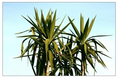 yucca palme haushalts und gartenlexikon. Black Bedroom Furniture Sets. Home Design Ideas